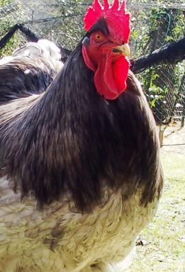 10032015 portrait de patty coq cochin bleu 2