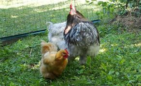 10082015 poules autour du coq