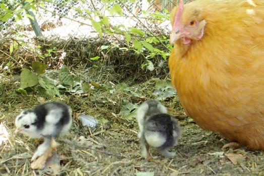 11062015 mere poule orpington attentive