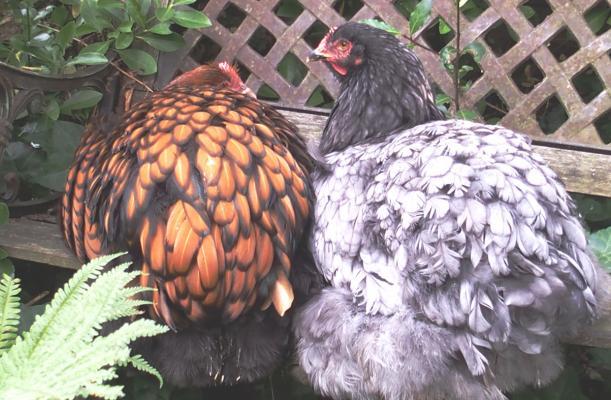 12102015 jeunes poules ofaln et cochin bleu sur banc 1