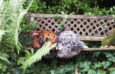 12102015 jeunes poules ofaln et cochin bleu sur banc 3