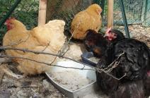 12102015 orpis regroupees pour toilette et jeune coq araucana 2