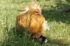 13062015 poule orpington fauve promenant ses poussins