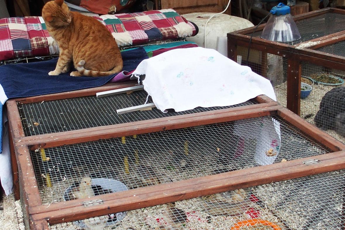 Soins aux poussins - Bruit qui attire les chats ...