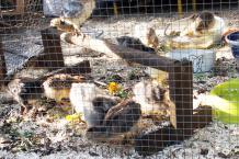 14042016 pousins araucana au coin grattage