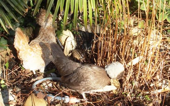 17022015 Poules Hollandaises à huppe près du petit bassin