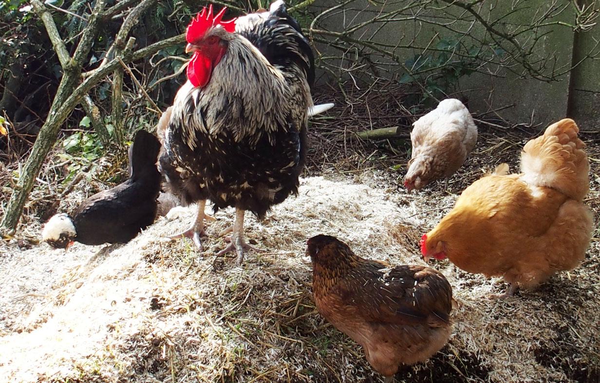Animation le coq appelle ses poules sur le tas de fumier for Bien nourrir ses poules