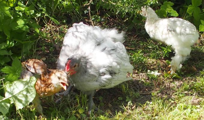 19052015 coquelet orpington chassant une poulette araucana