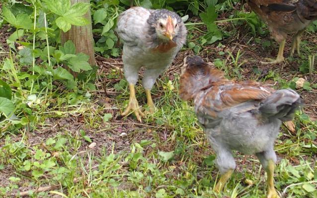 19052015 coquelets araucana se defiant devant poulette 1