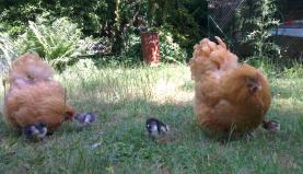 19062015 poules orpington et poussins dans le jardin