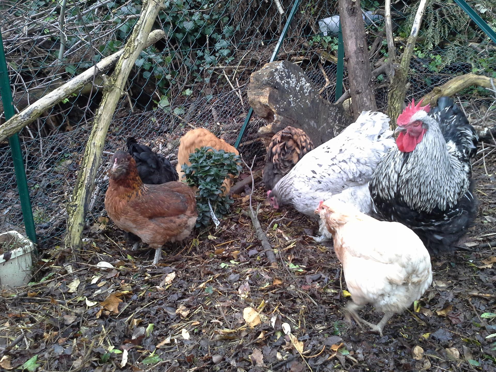 Graciane en retraite avec ses poules