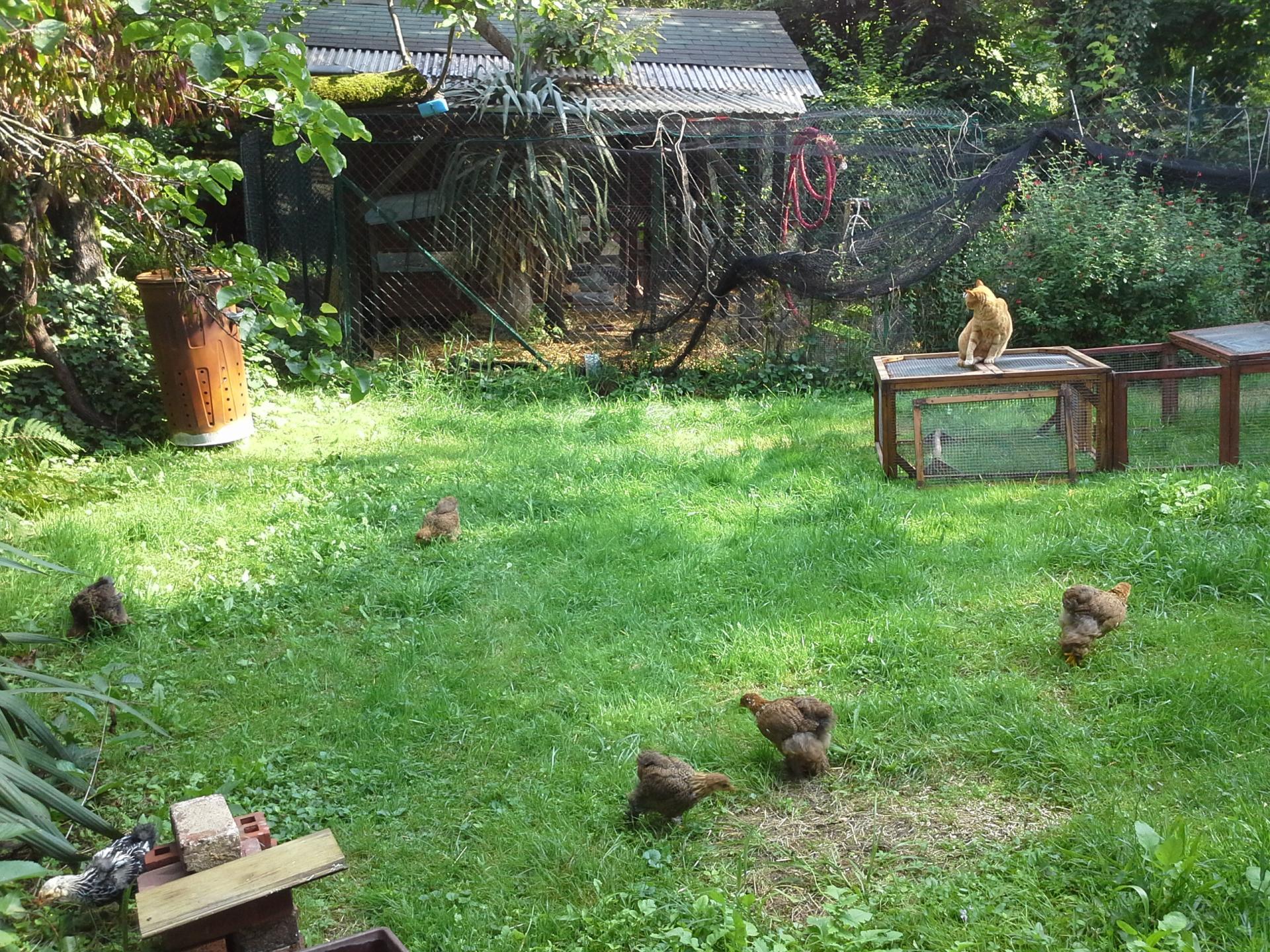 Les poussins dans le bas du jardin