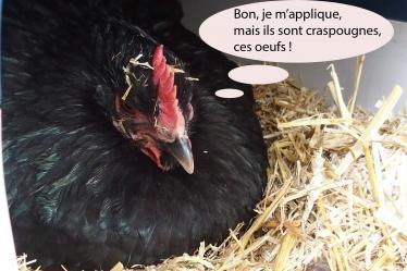 21032015 poule orpington tient le nid