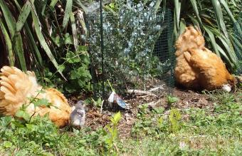 21062015 poules orpi fauve et leurs poussins 1