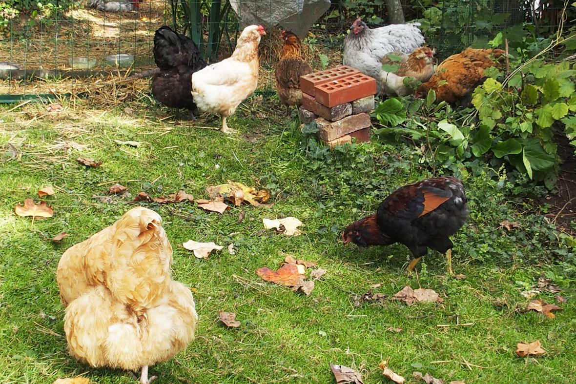 Activit s des poules au jardin sous le soleil d 39 automne Poule dans le jardin