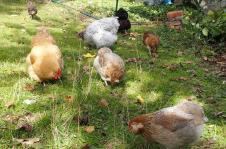 21102015 poules picorant au soleil 2
