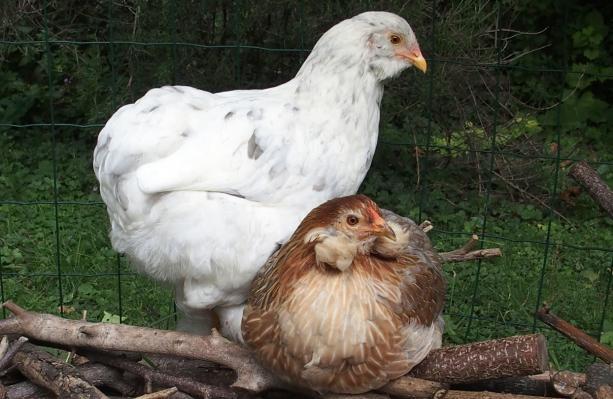 23082015 poulette araucana et poulette croisee