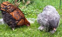 23082015 poulettes ofaln et cochin bleu de 5 mois