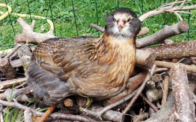 23082015 tic poulette araucana sur le tas de bois
