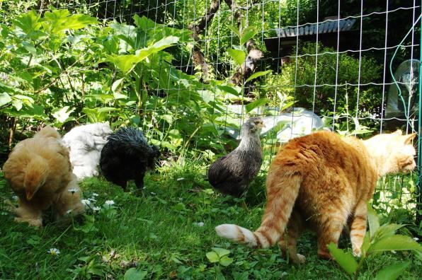 24052017 chatte et poussins dans le jardin