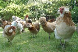 24052017 petit groupe de poules varie et multicolore 1