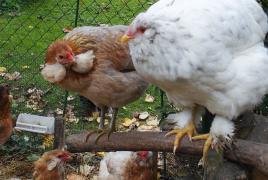 26102015 chouppa poulette croisee avec araucanas