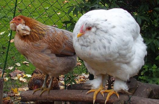 26102015 chouppa poulette croisee avec picatchou