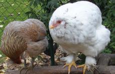 26102015 chouppa poulette croisee cochin araucana de 5 mois