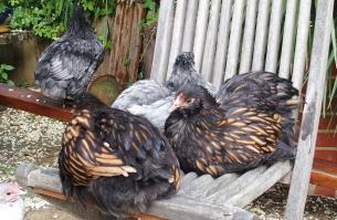 28052015 poulettes ofaln avec cochin bleue