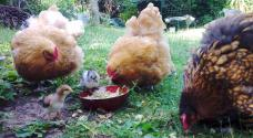 30062015 poussins et poules au gouter 2