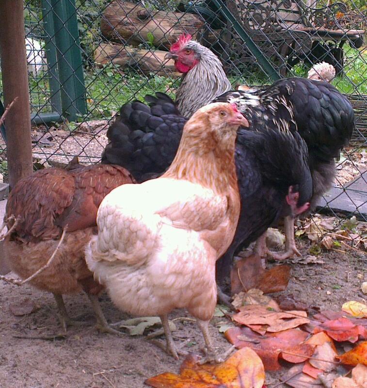 Les araucanas auprès de leur coq Orpington