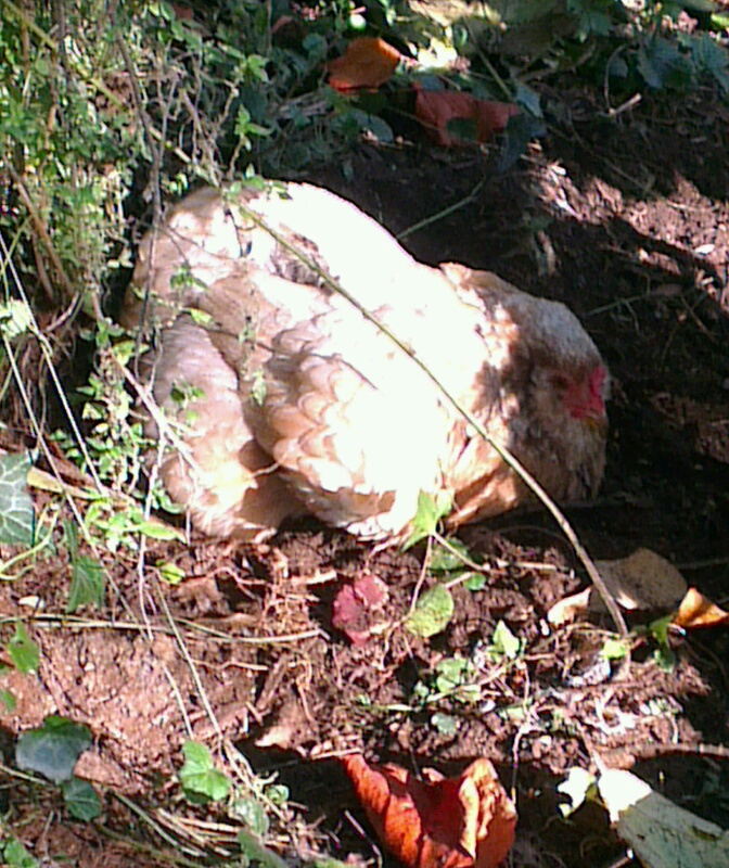 Ravages de poules dans un jardin citadin for Dans keff