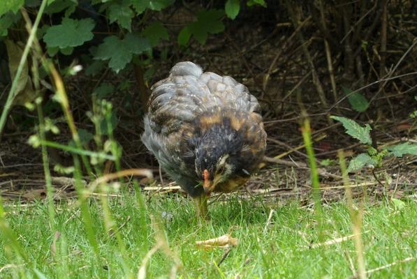 Beau plumage pour poussin araucana