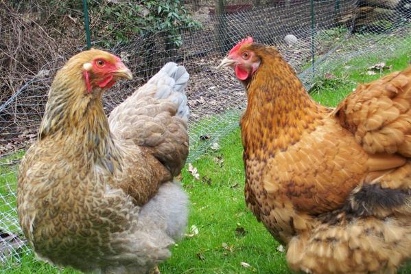 Brahma poule brahma et orpington