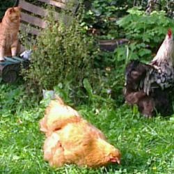 Chatte et poules