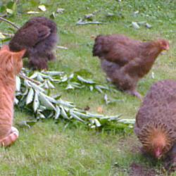 La chatte chasse les oiseaux mais pas les poulettes
