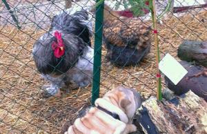 Chien coq et poule reduit