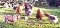 Chien et poules i