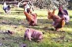 Chien et poules ii