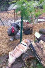 Chiot coq et poule