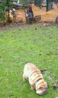 Coq et poules regardant le chiot