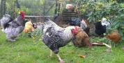 Coqs et poules orpi cochin et araucana