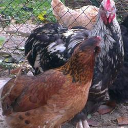 Théo, coq orpington, avec Edith, l'araucana doré-brun