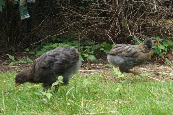 Ibis et ibiscus chassent