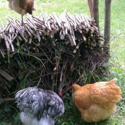 Chouppi lisse ses plumes sur le tas de bois