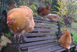 Poules orpi et araucana avec chatte sur banc