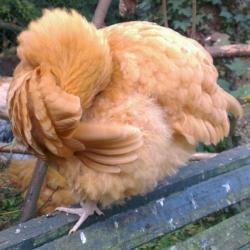 Orpington fauve qui arrange ses plumes, perchée sur un banc