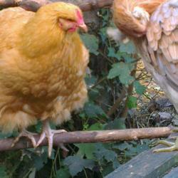 Orpington regardant une araucana qui se lisse les plumes