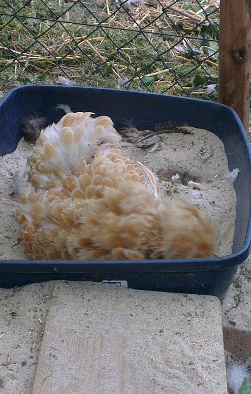 Estia, poule Padoue, dans son bac à pouille