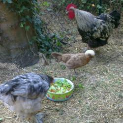 Repas des poules photos de poules et coqs autour de plats for Qu est ce que mange une poule